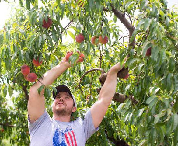 Peaches in North Georgia buck state trend, yield large crop