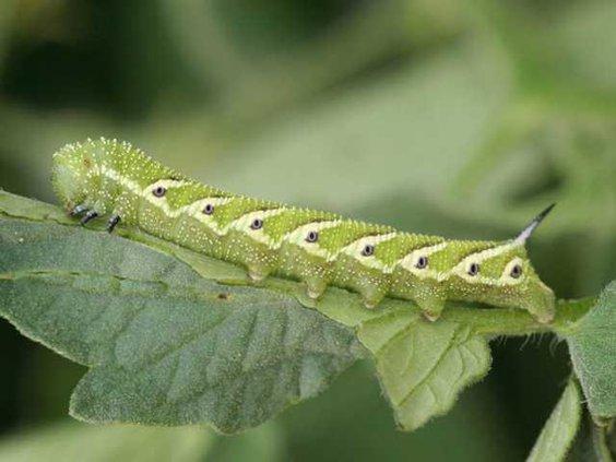0312Bugs-TomatoHornworm