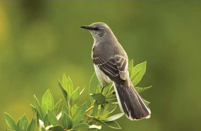 0420mockingbird