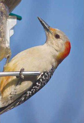 0211GETOUT.BIRD3.rbwoodpeck