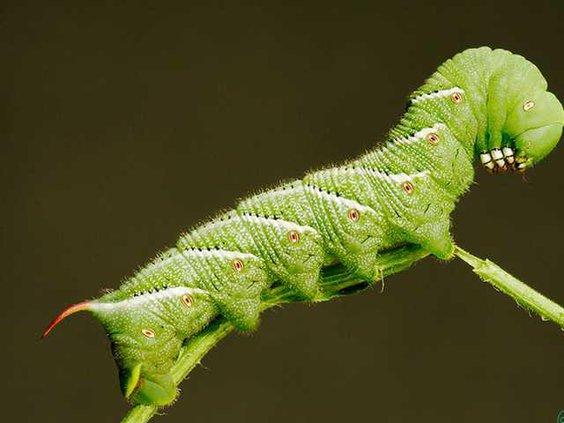 0611Garden-Hornworm