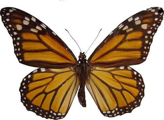 0627MONARCH-BUTTERFLY-CUTOUT